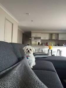 Maltese X Pomeranian Brisbane City Brisbane North West Preview