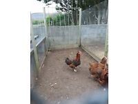 6 month old rhode island red cockerel free to agood home