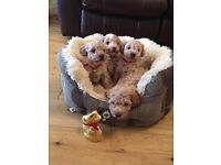 Pedigree Small Toy Poodle