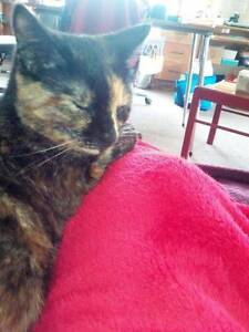 Cat Missing from Montello Somerset Waratah Area Preview