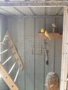 Canary birds Capalaba Brisbane South East Preview