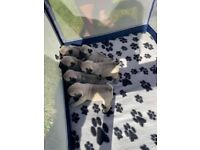Pug female fawn puppies for sale