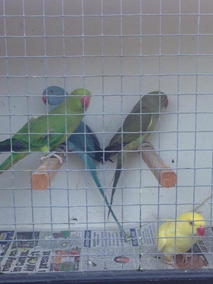 Ringneck Parrot For Sale uk Ringneck Parrot Bird For Sale