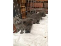 British Shorthair Blue x Russian Blue Kittens for sale
