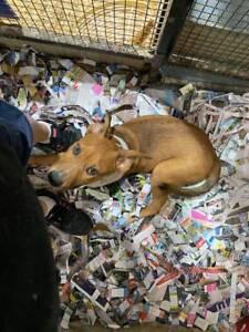 Boxer X Heeler Puppy!!