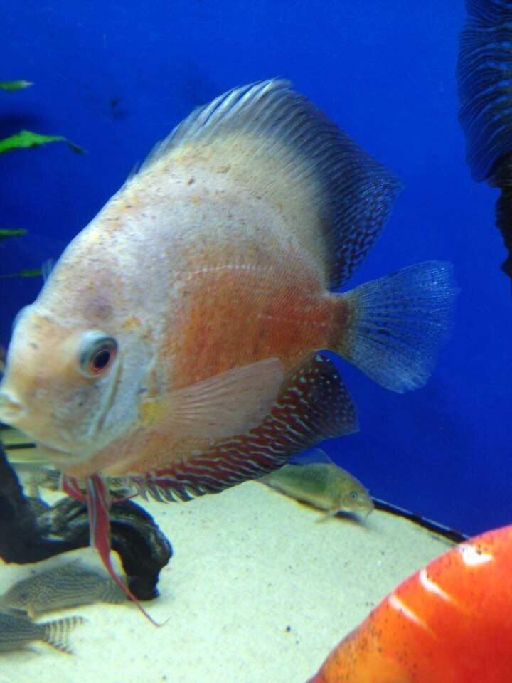 Discus fish corys torpedo barbs tank for sale in for Live discus fish for sale