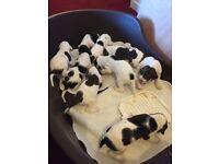KC Reg English Pointer Pups