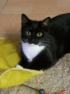 AK1686 : Sooty - CAT for ADOPTION - Vet Work Included