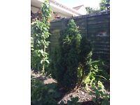 Conifer tree plant