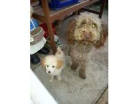 Beautiful miniature chocolate poodle needs rehoming free.