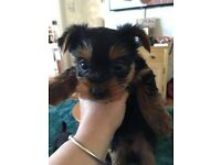 Full breed Yorkie Puppies