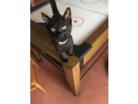 Fifteen Week Old Cuddly Kitten Looking For Forever Home