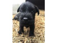 Pedigree Standard Schnauzer puppies for sale