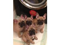 4 KC REGISTERED PEDIGREE FRENCH BULLDOG PUPS FOR SALE