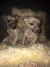 Whippet puppies looking for new homes Bathurst-Orange Region Preview