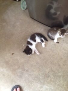 1 grey and white rag doll cross boy Crestmead Logan Area Preview