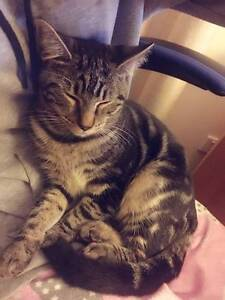 6 months old cat looking for a loving homes! Lidcombe Auburn Area Preview