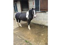 13.1hh Welsh Cob For Full/Part Loan