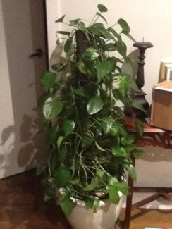 Money creeping plant (Devils ivy) Knoxfield Knox Area Preview