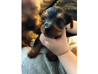 Yorkshire Terrier Puppies - 2 boys & 1 girl available - Stockport area Ready now £350.