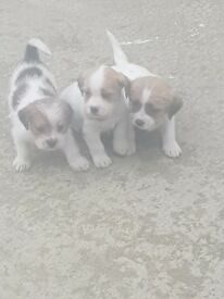 Shih Tzu X Jack Russell pups