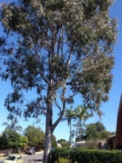 Firewood (Trailer of gum slabs) Carseldine Brisbane North East Preview