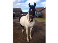 "Beautiful Piebald Mare looking for full loan 14""2"