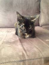 ADOPT KITTEN 'Ivy' Balaclava Port Phillip Preview