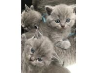 For sale British shorthair silver grey / blue kittens..