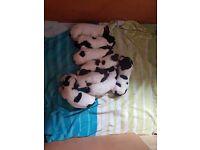 Springer Spaniel Puppies (KC Registered) £300 - £350