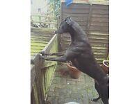 Rosie - Greyhound
