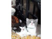 stunning litter of Black and White bi colour BSH x kittens