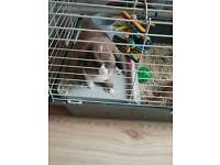 12 WEEK OLD FEMALE RABBIT : MICRO CHIPPED + VACCINATED : CAGE INCLUDED : PRESCOT COLLECT