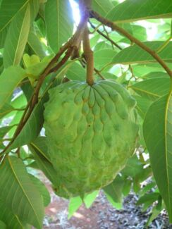 W Thai Perth nursery exotic tropical fruit tree for sale from $5