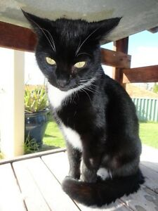 Lost cat Butler Wanneroo Area Preview