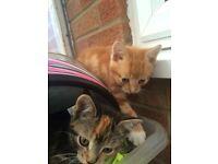 kittens 2 female tabby/tortie,1 male ginger /white