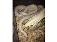 Various snakes for sale