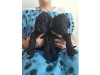 labradoodle pups - we have for sale 3 stunning F3 multigen labradoodle Male Puppies