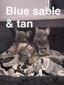 FRENCH BULLDOG PUPS (BLUES SABLE TAN/BLUE FAWN)