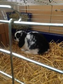 male dwaft lop rabbit