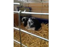 male dwaft lop rabbit