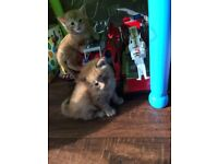 2 8 week old kittens for sale