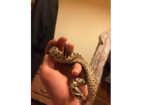 Normal Hognose + Cage & Accessories