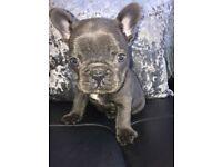 FRENCH BULLDOG BLUE BOY PUPS FOR SALE KC REGISTERED