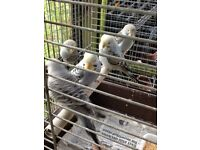 5 beautiful quality baby budgies for sale £20 each or 2 for £3o