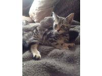 beautiful bengal x tabby kittens