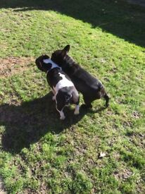 Two French Bulldogs available for a new home