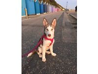 6 month old husky pup