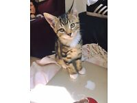 Tabby Kitten for Sale- Ready to Leave