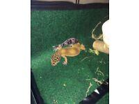 leopard gecko around five months old female